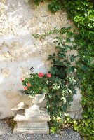 Geranium in antique stone pot against stone wall partially covered in climbers