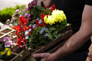 Person carrying crate of summer-flowering plants