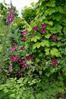 Clematis and foxglove growing wild