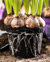 Grape hyacinths with soil and root ball (close-up)