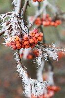 Rowan berries on branch covered in hoar-frost