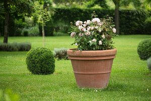 Rose in planter amongst box balls on lawn