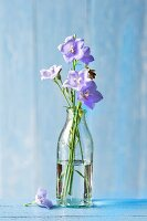 Campanula in bottle of water