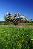 Blossom apple tree in the field
