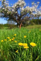Dandelions in lush meadow and blossoming apple tree in blurred background