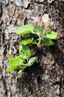 Apple blossom on the tree trunk
