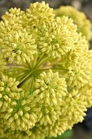 Angelica flower (close-up)