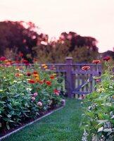Zinnias in Garden at sunset