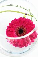 Pink gerbera daisy flower in glass