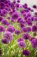 Flowering chives in field