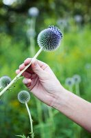 Hand picking globe thistle