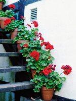 Rote Geranien in Tontöpfen als Deko auf Treppenstufen entlang der Hauswand