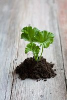 Pelargonium cutting in compost on wooden surface