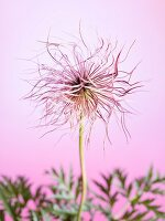 Alpine anemone seed head (Pulsatilla alpina)