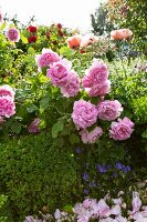 Pink roses leaning over box hedge in sunshine