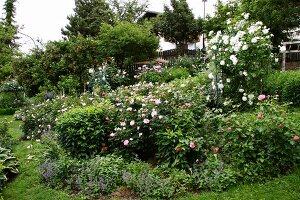 Profusely flowering roses in garden