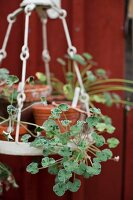 Potted geraniums on suspended rack