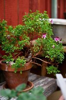 Potted pelargonium 'Angels perfume' on vintage wooden board