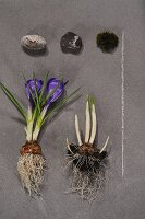 Purple crocus with bulb, pebbles and sprouting bulb on stone surface