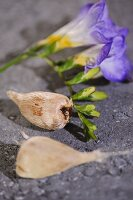 Purple freesia flowers and bulbs