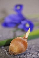 Bulb and iris