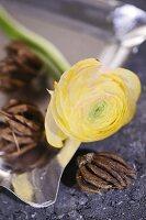 Yellow ranunculus flower and bulb