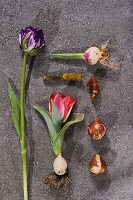 Various tulips and bulbs on stone surface
