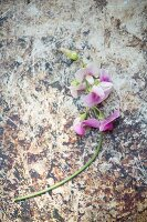 Pink, scented sweet pea on patterned surface