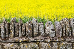 Weathered stone wall in front of field of bright yellow, flowering oilseed rape