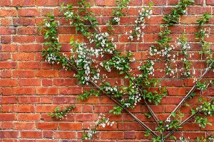 Flowering, fan-trained apple tree against brick wall