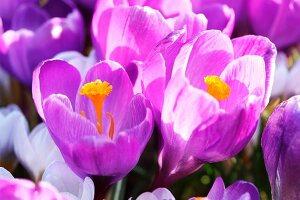 Purple crocuses in sunlight