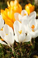 Yellow and white crocuses