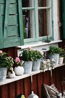 Flowering roses in zinc planters on wooden shelf below window on facade of wooden house