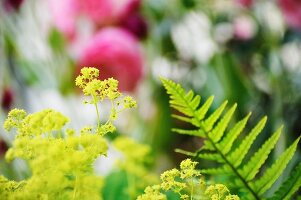 Lady's mantle and fern in garden