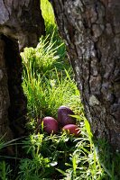Two hens' eggs and one blown turkey egg dyed various shades of red in a hollow in an old tree