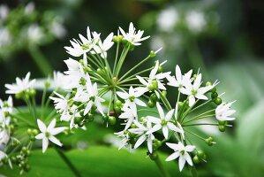 Flowering wild garlic (close-up)
