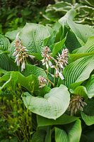 Flowering hosta in garden
