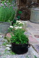 Yarrow (Achillea) in old saucepan and zinc pot of lavender next to rustic, paved terrace