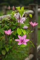 Pink clematis on garden fence