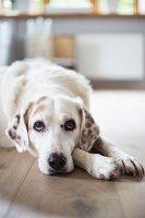 Dog lying on floor