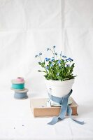 Forget-me-not in white pot ties with grey ribbon