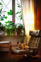 Dog on leather armchair below window with house plants on windowsill