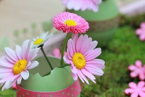 Pink ox-eye daisies and bellis in pale green egg shell decorated with polka-dot ribbon
