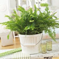 Fern in white, bucket-style pot on wooden bench