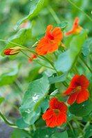 Orange-flowering nasturtiums with leaves and buds