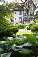 Large-leafed hosta and island beds of clipped bushes in garden with house in background