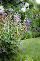 Flowering corydalis in garden