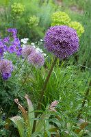 Flowering allium in garden