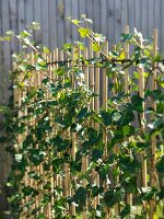 Ivy growing up canes in garden