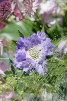 Pale purple scabious